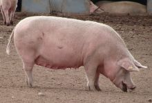 HSA commits to new research and development to improve the welfare of pigs at slaughter feature image
