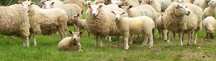 Image of Sheep in a field, looking at the camera