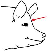 Pigs - Humane Slaughter Association